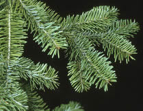 Balsam Fir foliage