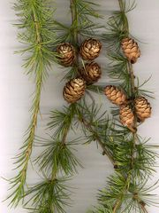 European Larch foliage and cones