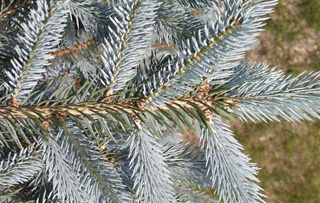 Black Spruce foliage and cones
